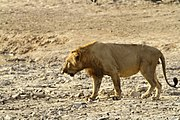 West African male lion