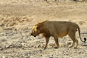 West African lion - Male lion in Pendjari National Park, Benin.