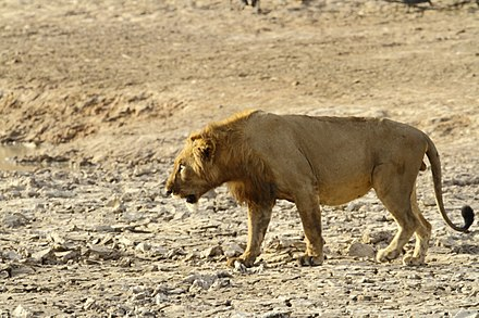The Pendjari National Park in Benin is one of the most important reserves for the West African lion and other large animals of West Africa. West African male lion.jpg