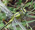Western Clubtail. Gomphus pulchellus. Mature Male. Head detail - Flickr - gailhampshire.jpg