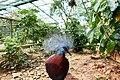 Western Crowned Pigeon - Sagittal View.jpg