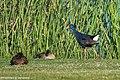 Western Swamphen - Algarve - Portugal CD5A5896 (48054638061).jpg