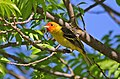 Western Tanager in California.JPG