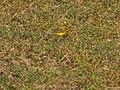 Western Yellow Wagtail (30370385736).jpg