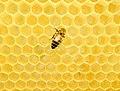 Western honey bee on a honeycomb.jpg