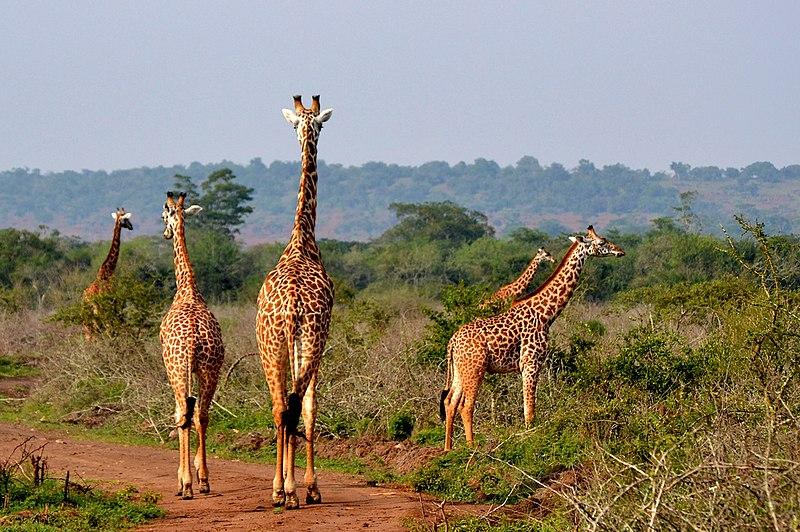 afrikanza-akagera-giraffes