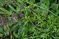 What Is This Stuff? (ID Cleavers, http en.wikipedia.org wiki Galium aparine ) (13947822880).jpg