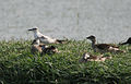 120px-Whiskered Tern with Cotton Pigmy Geese I IMG 9382
