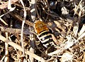 White-banded Digger Bee. Amegilla quadrifasciata (32798588842).jpg