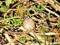 White-crowned Sparrow on Seedskadee NWR 01 (15689840051).jpg