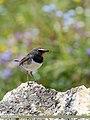 White-tailed Rubythroat (Luscinia pectoralis) (39560138872).jpg