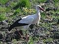 White Stork (Ciconia ciconia) (12).jpg