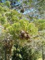 Widdringtonia nodiflora KirstenboshBotGard09292010C.JPG