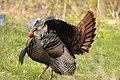 Wild Turkey, Creekside Park, 8 May 2014 (14145843695).jpg