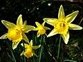 Wild daffodils - geograph.org.uk - 363824.jpg