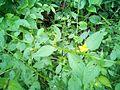 Wild flower kin pathanamthitta kerala.jpg