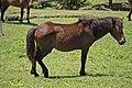 Wild horse of cape toi. - 都井岬の野生馬 - panoramio (18).jpg