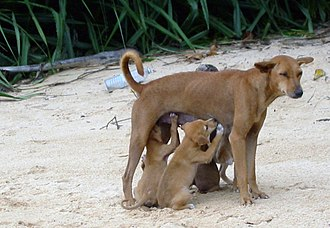 Dog - A feral dog from Sri Lanka nursing very well-developed puppies