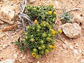 Wildflowers-Richtersveld-PICT2613.jpg