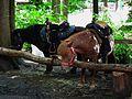 Wildpark Alte Fasanerie Ponies Juni 2012.JPG