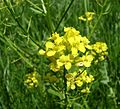 Winter Cress, Garden Yellowrocket, Yellow Rocket (Barbarea vulgaris) - Flickr - Jay Sturner (1).jpg
