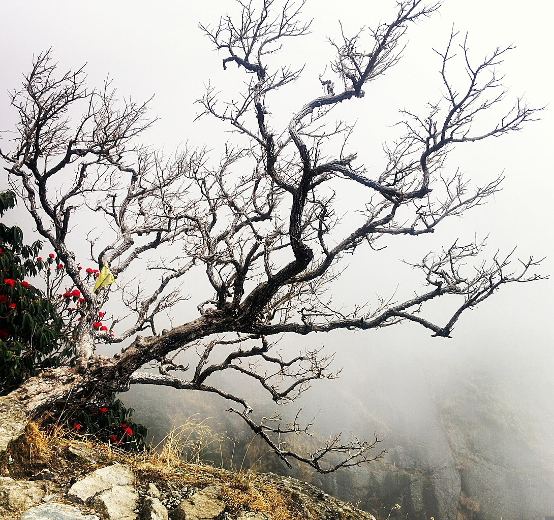 File:Withered tree in triund trek.jpg - Wikimedia Commons