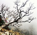 Withered tree in triund trek.jpg
