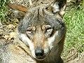 Wolf 2.jpg