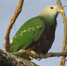 Wompoo Fruit Dove Image 005.jpg