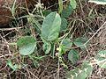 Wonder Bean plant (1964592634).jpg
