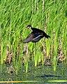 Wood Duck (15868468445).jpg