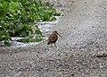 Woodcock. (Scolopax rusticola) (39199464021).jpg