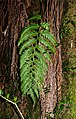 Woodwardia radicans 001.jpg