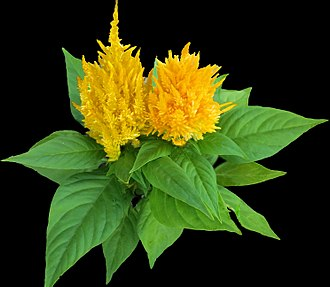 Celosia - Woolflower or Cockscomb -- Celosia plumosa