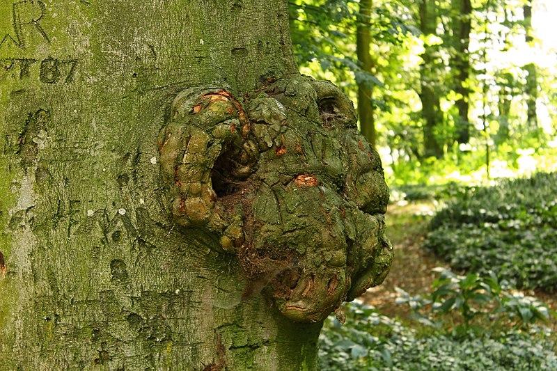 File:Wucherung an einem Baum am Freinberg in Linz 2014-08.jpg