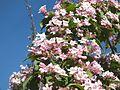 Wzwz tree 14e Kolkwitzia amabilis.jpg