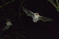 XN Myotis Nattereri 96.jpg