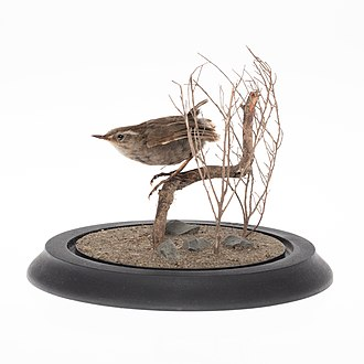 Bushwren - Xenicus longipes mount in the collection of Auckland Museum
