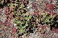 Yaiza El Golfo - Avenida Maritima - Mesembryanthemum crystallinum 01 ies.jpg