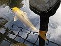 Yamabuki Ogon koi and reflections in pond at Japanese Friendship Garden in Balboa Park.jpg
