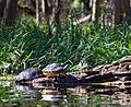 Yellow-bellied Slider Turtles.jpg