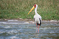 Yellow-billed stork - Queen Elizabeth National Park, Uganda-3.jpg