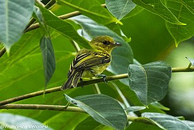 Yellow-breasted Flycatcher - Darién - Panama (48444471392).jpg