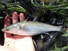 A caught Yellow-eye mullet held in a hand