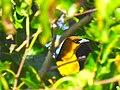 Yellow-headed Blackbird, Floyd Bennett Field, Brooklyn.jpg