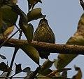 Yellow-rumped Flowerpecker AMSM2539.jpg