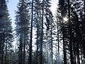 Yosemite Trees (279623731).jpg