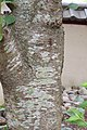 Yoshino cherry tree bark 1.jpg