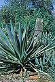 Yucca gloriosa marginata Mannheim Germany B.jpg