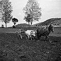 Za repo orjejo, Hrušica 1955.jpg